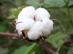 棉籽供需矛盾明显,支撑棉花市场行情